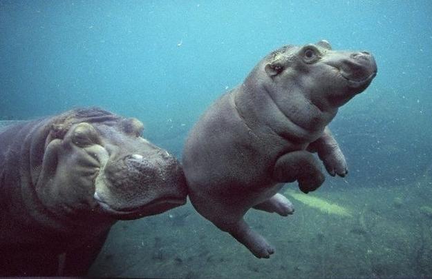 Hippo Push!